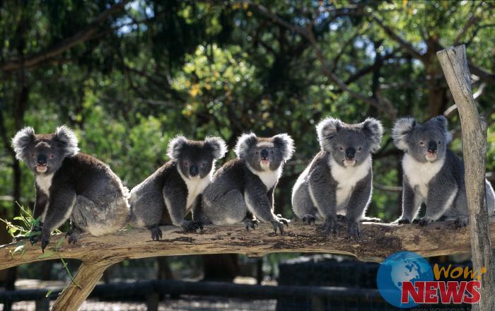 库伦滨野生动物园可以与无尾熊亲密接触
